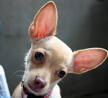 Mexican Chihuahua Dog by Johnny Furlotte