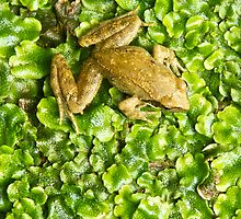 The FROG - iPhone by Zefiro