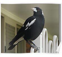 Senior Australian Magpie Poster