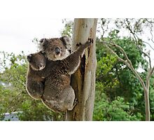 Koalas near home Photographic Print