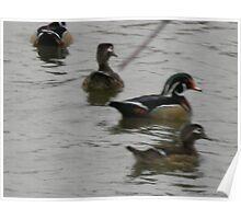 Blurred Wood Ducks! Poster