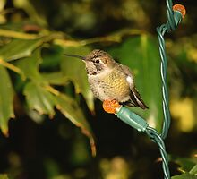 Hummingbird for the Holidays by DWMMPhotography