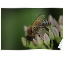 Macro bee on a flower Poster