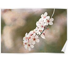 Cherry Blossoms Branch Poster