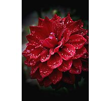 blood red.... soaked with raindrops Photographic Print
