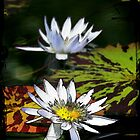Waterlily transformed by Antionette