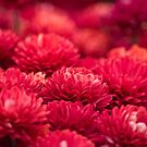 Carpet of MUMS by Jeanie93