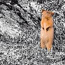 Arctic Ground Squirrel by Yukondick