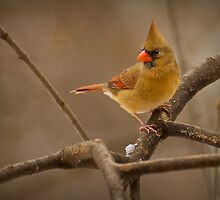 The Lady Cardinal by Jeff Weymier