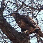 Young Bald Eagle by Connie Bunke