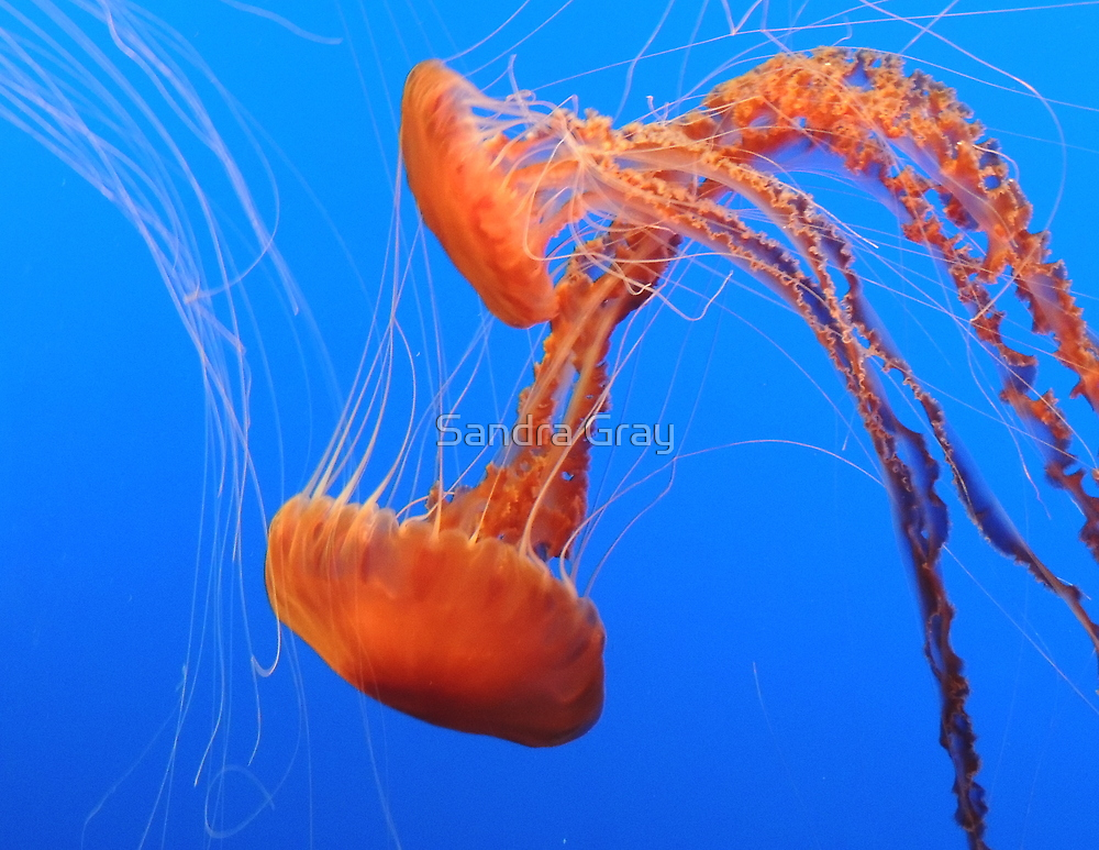 Bright Orange Jellies by Sandra Gray