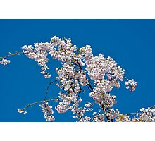 Eastern Redbud Flowers Photographic Print