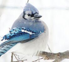 Winter Blue Puff by lorilee