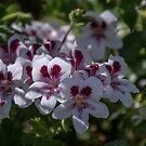 White flowers with magenta stripes near centre Leith Park Victoria 201511030547   by Fred Mitchell
