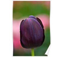 Dark Purple Tulip at Tesselaar Tulip Festival Poster