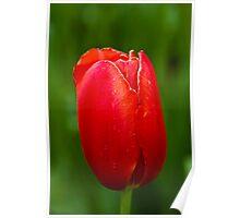 Red Tulip at Tesselaar Tulip Festival Poster