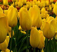 Yellow Tulip at Tesselaar Tulip Festival by Steven Weeks