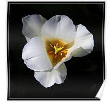 Snow White Tulip Poster