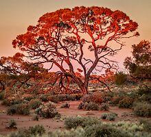 Red Mulga Tree by eSWAGMAN