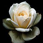 White Rose i-Pad by ipadjohn