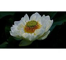 Lotus Petals Photographic Print