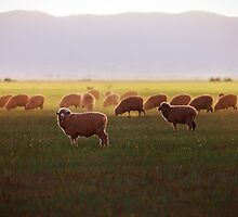 Cows at Dusk by eSWAGMAN