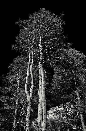 Aspen Trees by Jeffrey  Sinnock