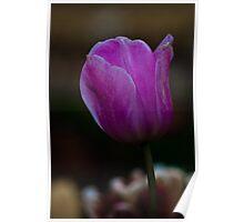 Purple Tulip at Tesselaar Tulip Festival Poster
