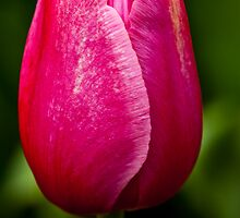 Pink and White Tulip at Tesselaar Tulip Festival by Steven Weeks