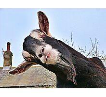 The Nosy Goat (2) Photographic Print