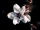 Dark Flower # 1 by Frederick James Norman