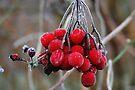 Red Ice Berries by Jo Nijenhuis