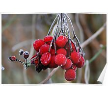 Red Ice Berries Poster