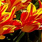 Bright tulips by cclaude
