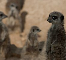 Meerkat Mob by mps2000