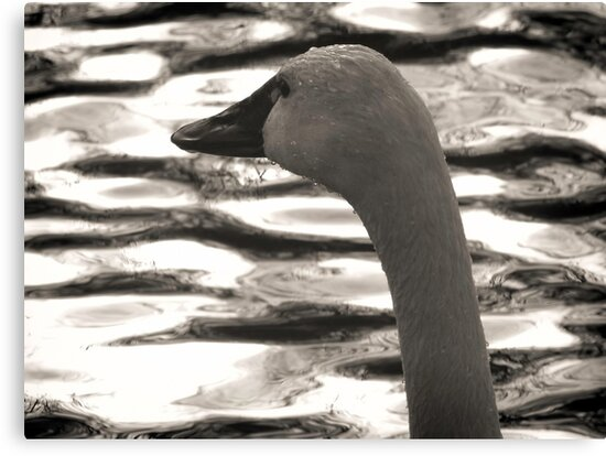Tundra Swan 3 by Thomas Young