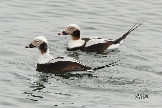 Long-tailed Ducks by Todd Weeks