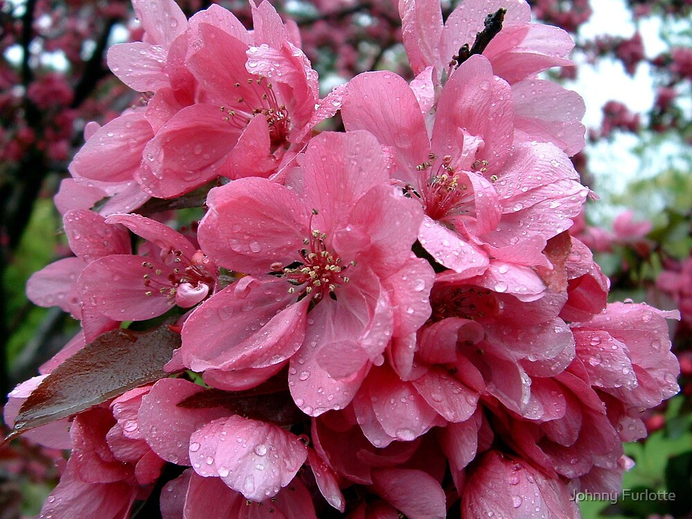Pink Apple Blossoms by Johnny Furlotte