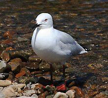 Black-billed gull by Duncan Cunningham