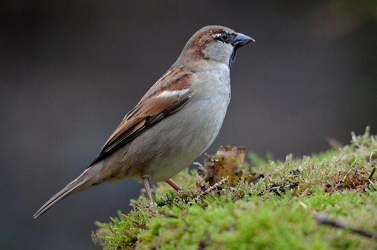 &quot;Ordinary&quot; house sparrow by Peter Wiggerman