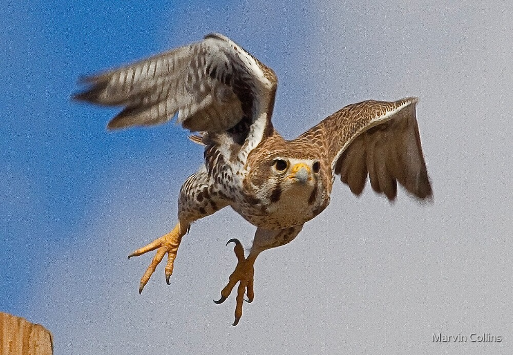 121612 Prairie Falcon by Marvin Collins