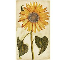 Sunflower by Johan Teyler, 1688 Photographic Print
