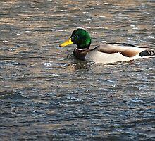 River Mallard by Thomas Young