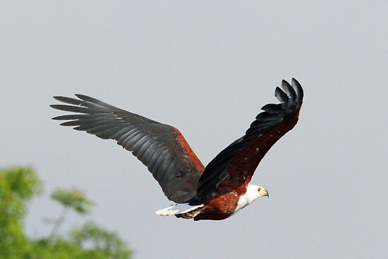 Fish eagle in flight by jozi1