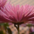 Lavendar Mum ~  Floral series by Jeanie93