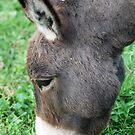 Donkey  by Jeanie93