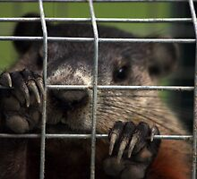 Relocated Groundhog. by Johnny Furlotte