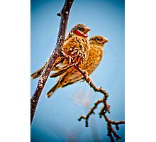 Two Finches  Photographic Print