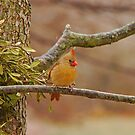 Lady Cardinal by Mary Carol Story