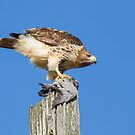 Red-tailed Hawk with Pigeon by Bill McMullen
